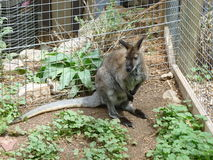 Oh, Wallaby!. Adorable Wallaby in a zoo setting Stock Photos