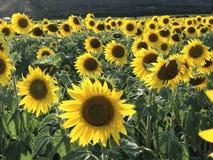 Oh zonnebloemen U bent zo mooi Stock Foto's