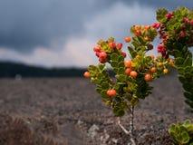 Ohelo-Beere, Vaccinium reticulatum, wachsend auf Lava stockfoto