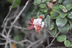 Ohi 'a Lehua - Volcanoesnationalpark arkivfoton