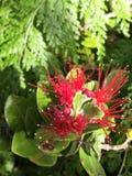 Ohia blomma, Lehua Fotografering för Bildbyråer