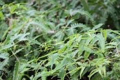 Ohia fält av ormbunkar Royaltyfri Foto