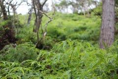 Ohia fält av ormbunkar Royaltyfria Foton