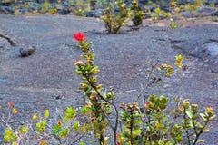 Ohia lehua flower Stock Image