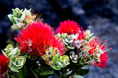 Ohia Lehua Royalty Free Stock Photography