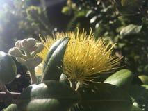Ohia Lehua Plant Blossoming met Gele Bloemen in de Winter in Lihue op het Eiland van Kauai, Hawaï royalty-vrije stock afbeeldingen