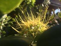 Ohia Lehua Plant Blossoming met Gele Bloemen in de Winter in Lihue op het Eiland van Kauai, Hawaï stock foto