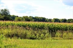 Ohio Fields. A lush corn field in Ohio royalty free stock images