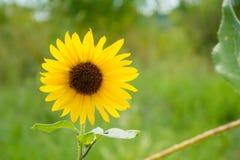 Ohio-Sonnenblume Stockbilder