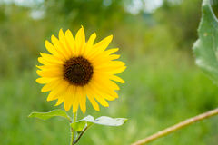 Ohio Sunflower. Sunflower shot by railroad tracks in Columbus, Ohio Stock Images