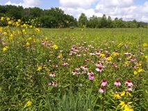 Ohio Wildflower Field. Ohio Wildflower Beautiful royalty free stock photos