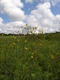Ohio Wildflower Field. Ohio Wildflower Beautiful royalty free stock photo