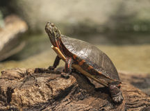 Ohio Wood Turtle Royalty Free Stock Images