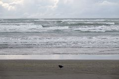 Ohope beach in Whakatane, New Zealand. Black Oyster catcher at Tasman sea at Ohope beach in the Bay of Plenty on the North Island of New Zealand is voted as New stock photography
