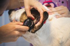Ohr überprüfen durch den Tierarzt für Hund in der Tierarztklinik stockbild