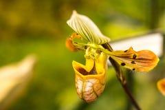 Ohr-aussehende Orchidee in der Toronto-Orchideenshow Stockfotografie