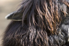 Ohr des Alpakas Stockfotos