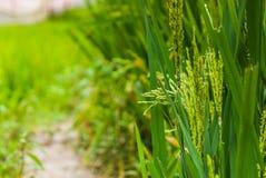 Ohr des Reises auf dem Reisgebiet stockfoto