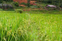 Ohr des Reises auf dem Reisgebiet stockfotos