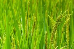 Ohr des Reises auf dem Reisgebiet lizenzfreies stockfoto