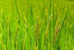 Ohr des Reises auf dem Reisgebiet lizenzfreies stockbild