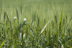 Ohr des Weizens Lizenzfreies Stockbild
