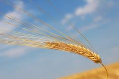 Ohr des Weizens stockfoto