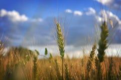 Ohr des Weizens Stockbild
