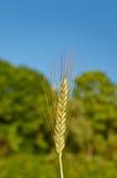 Ohr des Weizens stockfotografie
