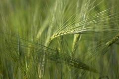 Ohr des Weizens Lizenzfreie Stockfotografie