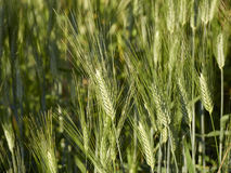 Ohr des Weizens Lizenzfreie Stockbilder