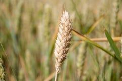 Ohr des Weizens Lizenzfreie Stockfotos