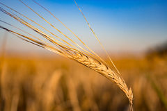 Ohr des Weizens auf dem Feld und dem Himmel Lizenzfreie Stockfotos