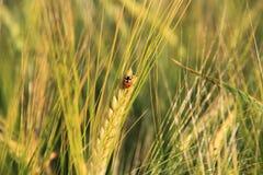 Ohr des Weizens mit einem kleinen Marienkäfer Stockbilder