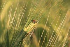 Ohr des Weizens mit einem kleinen Marienkäfer Lizenzfreie Stockfotos