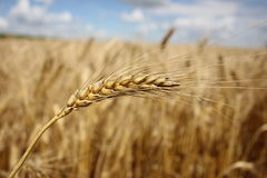 Ohr vor dem hintergrund eines Weizenfeldes Lizenzfreie Stockbilder