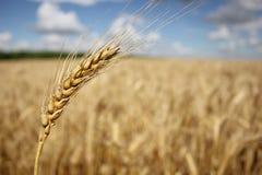Ohr vor dem hintergrund eines Weizenfeldes Lizenzfreie Stockfotografie