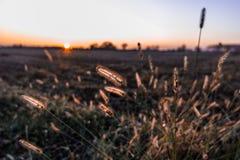 Ohren bei Sonnenuntergang Stockfotos