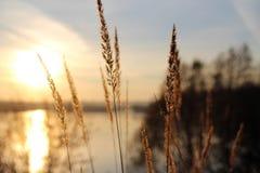 Ohren bei Sonnenuntergang Lizenzfreies Stockfoto