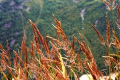 Ohren des gelben Grases wachsend auf der Wiese Lizenzfreie Stockfotografie