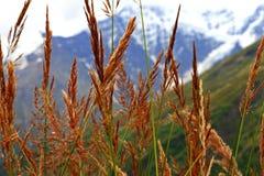 Ohren des gelben Grases wachsend auf der Wiese Stockfotos