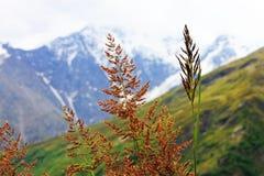 Ohren des gelben Grases wachsend auf der Wiese Stockbilder