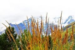 Ohren des gelben Grases wachsend auf der Wiese Stockfotografie