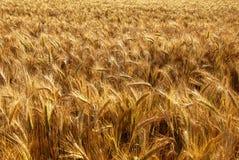 Ohren des Getreidegetreides ausgemacht Lizenzfreie Stockfotografie