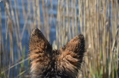 Ohren des Hundes Lizenzfreies Stockbild