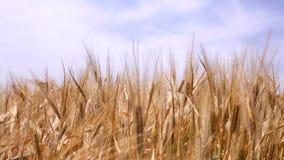 Ohren des Kornes auf dem Himmelhintergrund stock footage