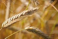 Ohren des Weizens