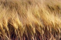 Ohren des Weizens Stockbild
