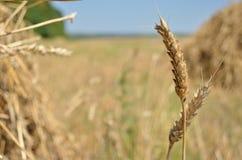 Ohren des Weizens Stockfoto