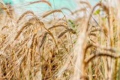 Ohren des Weizens Lizenzfreies Stockbild